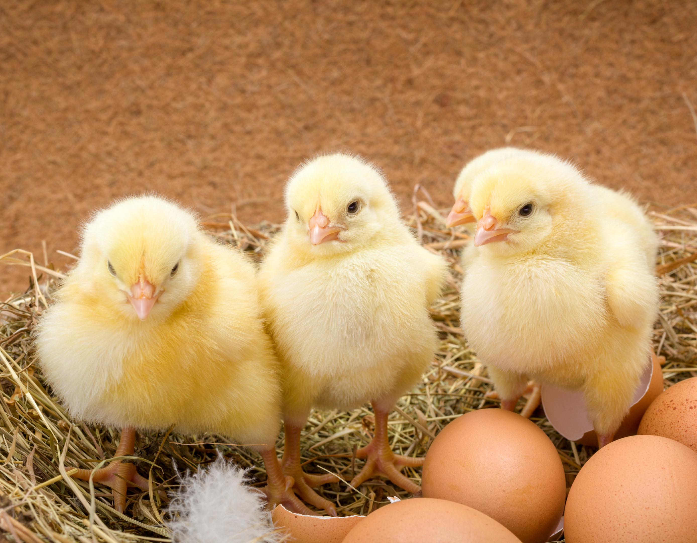 photodune-15857761-newborn-chickens-in-hay-nest-along-whole-and-broken-eggs-l